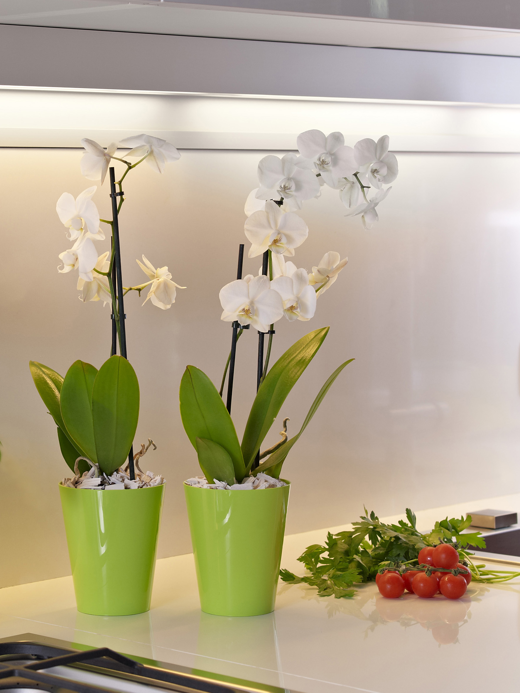 Clivo dekorativna saksija za orhideju